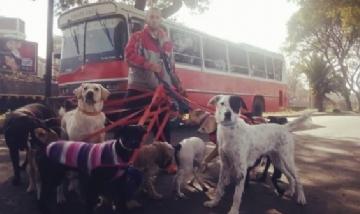 Paseador lleva a los perros en un micro escolar
