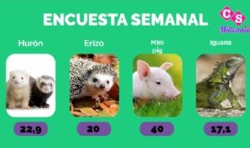 Los Mini pigs son la mascota predilectas de la gente